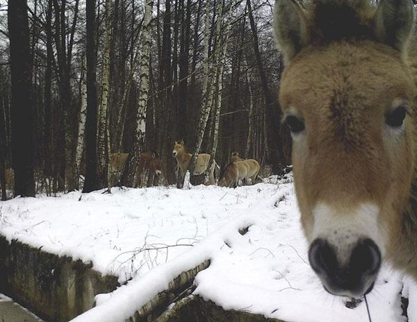 Ngựa hoang cũng là loài phát triển tốt ở khu vực này