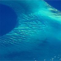 Có thứ gì đó bí ẩn đang... huýt sáo dưới biển Caribbean mà khoa học đang đau đầu tìm hiểu