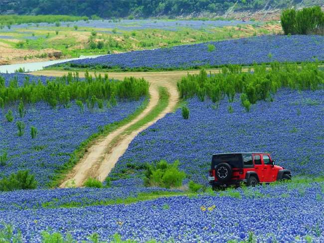 Cánh đồng hoa bluebonnet