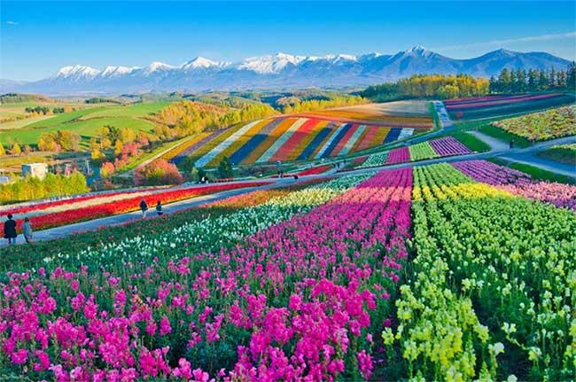 Cánh đồng hoa Shikisai no Oka, Hokkaido, Nhật Bản