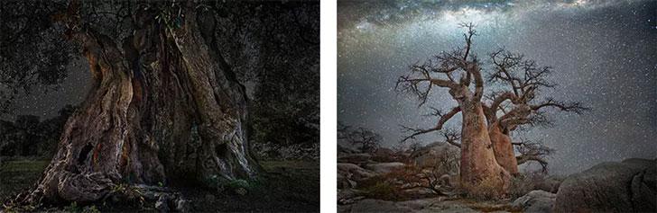 Những cây bao báp cổ thụ có thể sống đến 2.000 năm