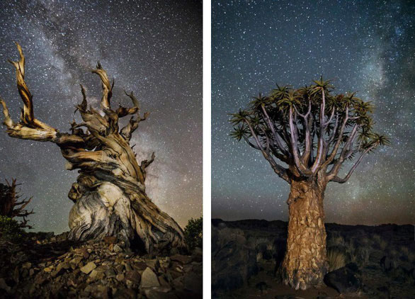 Bên trái là ảnh của cây thông bristlecone ở Vườn quốc gia Inyo, California (Mỹ). Bên phải là một cây quiver ở Namibia