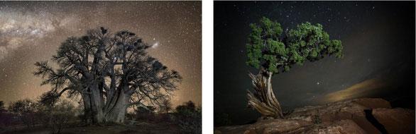 Bên phải là cây bao báp 1.400 năm tuổi. Bên trái là cây juniper sống ở công viên Dead Horse Point (Mỹ)