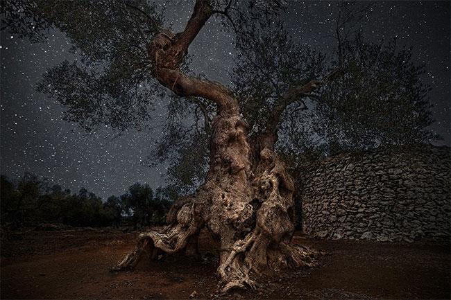 Cây oliu cổ thụ ở Puglia, Ý sống hơn 300 năm tuổi