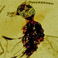 Chú ong bắp cày này được đặt theo tên của Dracula vì một lý do ai cũng phải bất ngờ