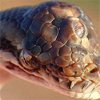 Phát hiện rắn 3 mắt kỳ lạ ở miền Bắc Australia