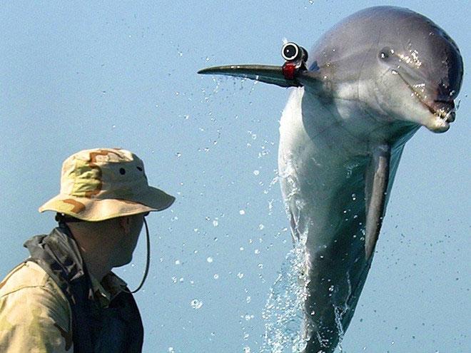 Từ những năm 1960, Hải quân Mỹ đã sử dụng cá heo để tìm mìn dưới nước và phát hiện tàu ngầm.