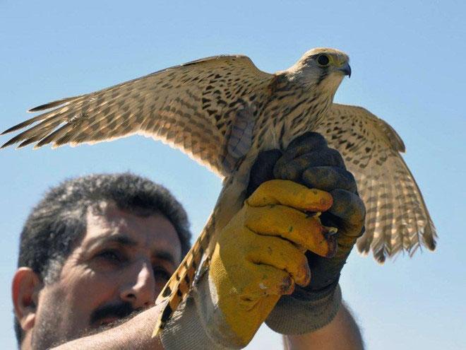 Chim cắt lưng hung (kestrel)