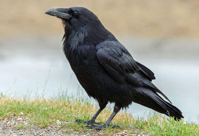 Tạp chí Smithsonian cũng tiết lộ Mỹ sử dụng quạ tương tự như chim bồ câu cho nhiệm vụ do thám.