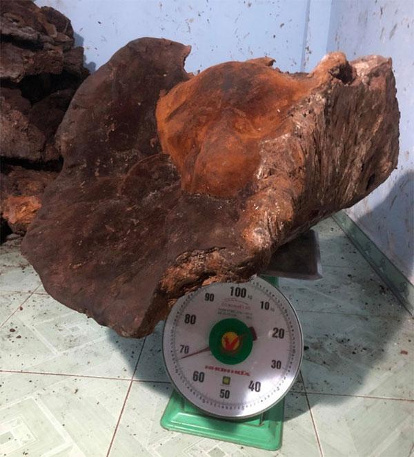Cây nấm chò nặng gần 70kg.