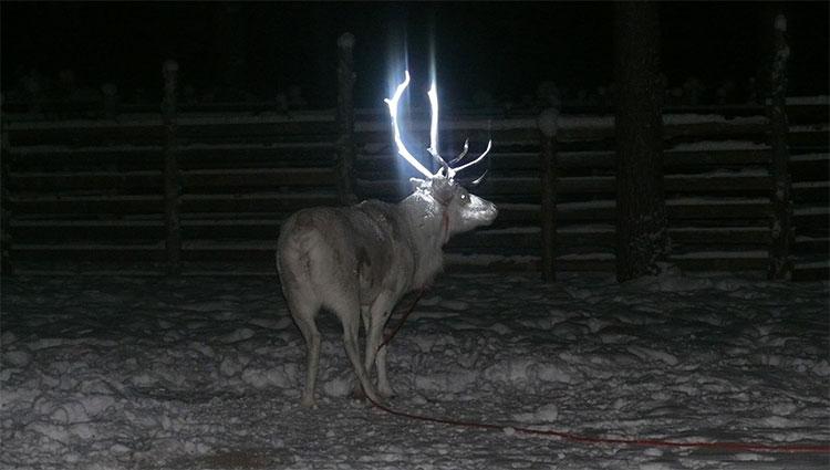 """Tuần lộc ở """"quê hương ông già Noel"""" có sừng phát sáng"""
