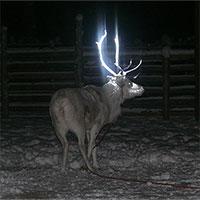 """Đây là lý do tuần lộc ở """"quê hương ông già Noel"""" có sừng phát sáng"""