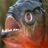Loài người nợ cá Piranha khét tiếng một lời xin lỗi: Chúng đáng sợ là do con người