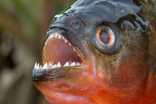 Loài cá Piranha khét tiếng đáng sợ là do con người?