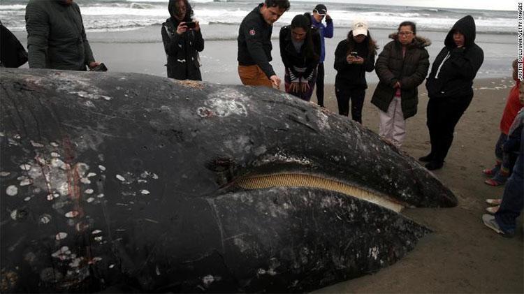 Con cá voi mới nhất dạt vào bờ biển tại Ocean Beach hôm 6/5.