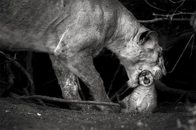 """Bức ảnh """"Tình mẫu tử"""" được chụp tại đồng bằng Masai Mara, Kenya"""