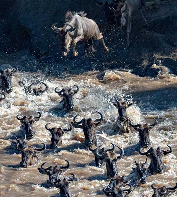 Một đàn linh dương đầu bò đang điên cuồng lao xuống sông và bơi thật nhanh để đến được bờ bên kia.