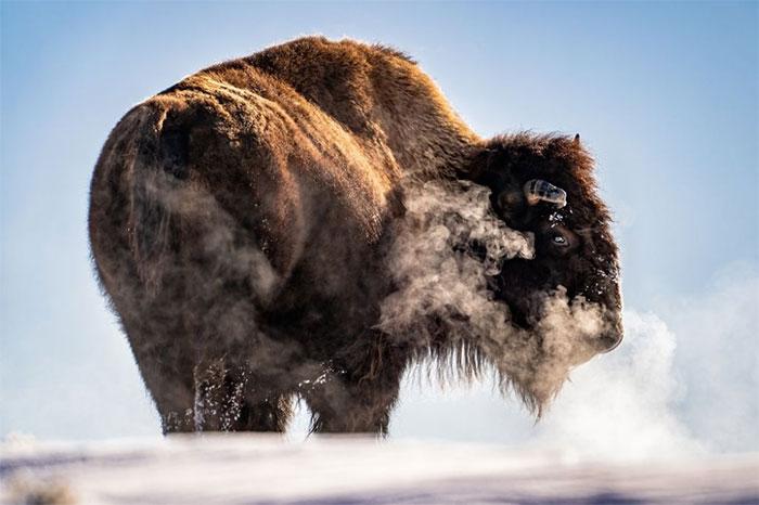 Trong ảnh là buổi sáng sớm khi màn đêm lạnh lẽo vừa qua đi, một con bò rừng đang vượt qua ngọn đồi