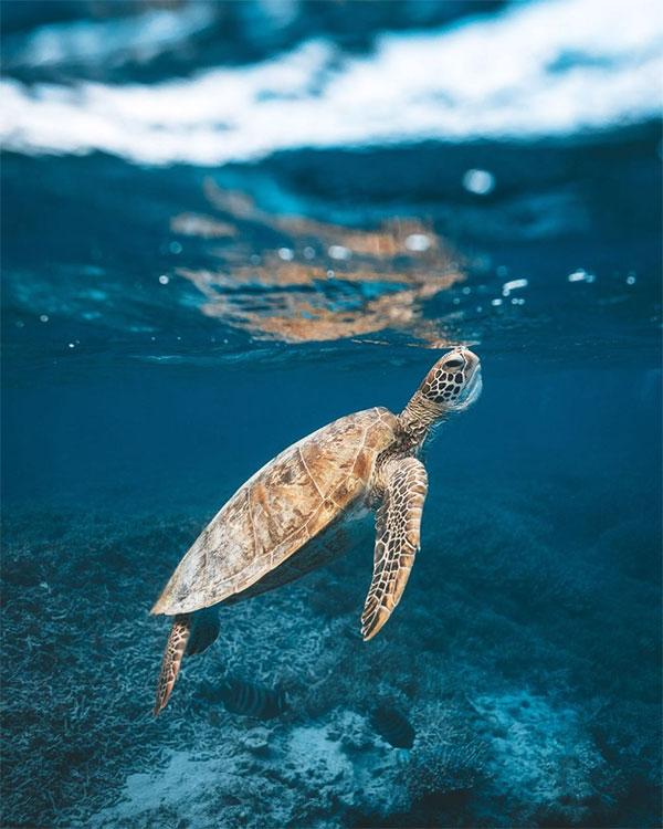 Một con rùa biển đang ngoi lên mặt nước để thở.