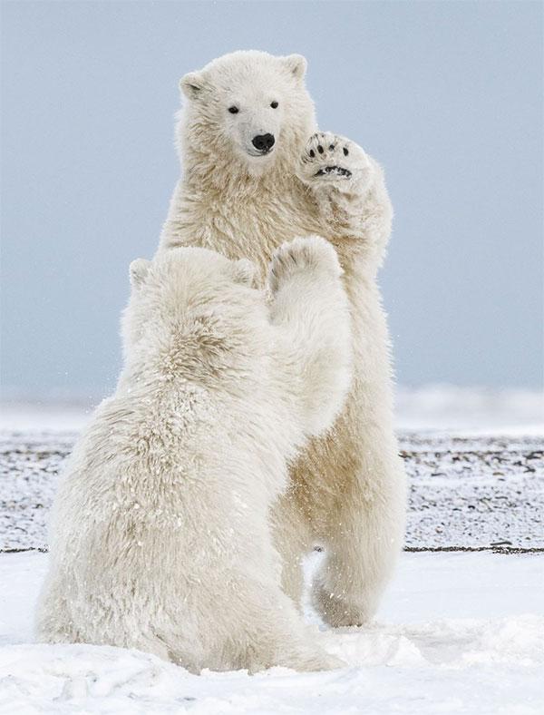 Khoảnh khắc khi hai chú gấu đưa tay ra và hi-five với nhau.