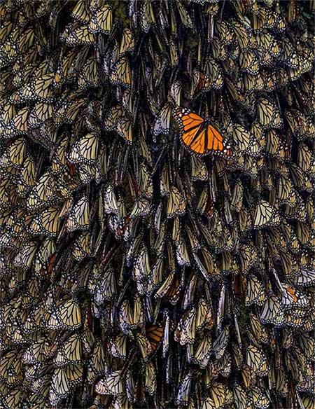 Đàn bướm rất đông nhưng nổi bật hơn cả là một chú bướm có cánh màu cam sáng.