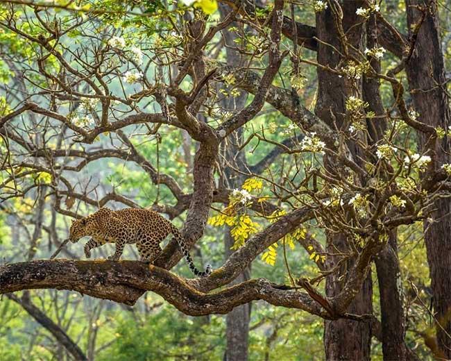 Một con báo đốm đang di chuyển chậm rãi qua cành cây với những bông hoa màu trắng.