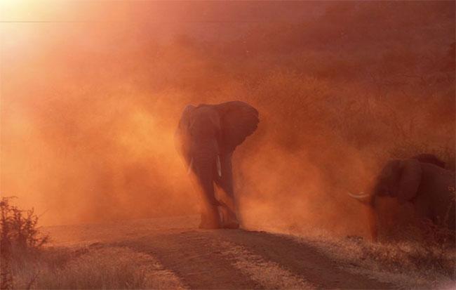 Khi thấy một chiếc xe đến gần, mẹ voi tỏ vẻ không thích và hất bụi bay lên mịt mù xung quanh bà ấy.