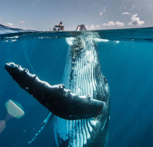 Bức ảnh chụp một con cá voi lưng gù đang ở tuổi vị thành niên trồi dậy khỏi mặt nước tại nam Thái Bình Dương