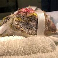 Ca phẫu thuật não vẹt đầu tiên trên thế giới tại New Zealand