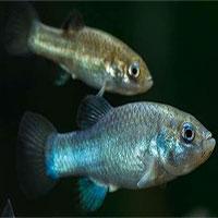 Các nhà khoa học đã tìm ra cách để ngăn loài cá hiếm nhất thế giới khỏi sự tuyệt chủng