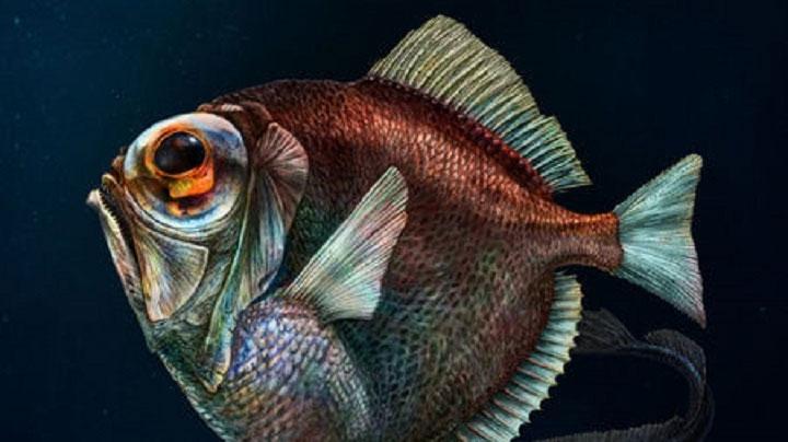 Cá spinyfin bạc.