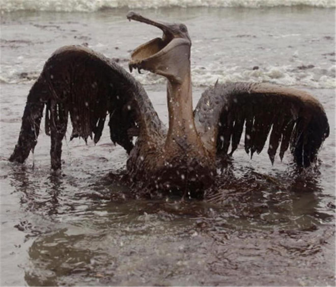 Bồ nông vùng vẫy bất lực trong váng dầu.