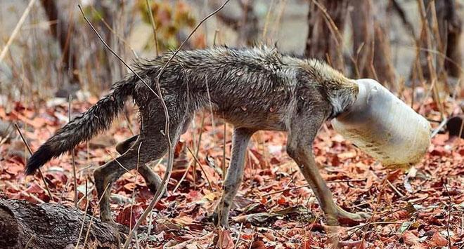 Một con sói bị mắc kẹt đầu trong bình nhựa.