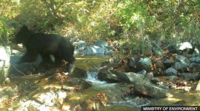Con gấu này là hậu duệ của loài gấu đen châu Á, từng sống ở khu DMZ trong một thời gian dài.