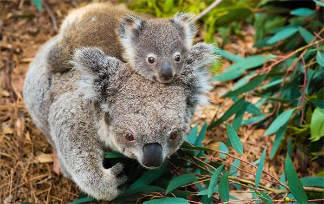 Gấu koala đã được liệt vào danh sách nguy cấp tại một số vùng của Úc.
