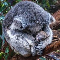 """Khoa học tuyên bố gấu koala chính thức """"tuyệt chủng về chức năng"""" nhưng điều đó có ý nghĩa gì?"""