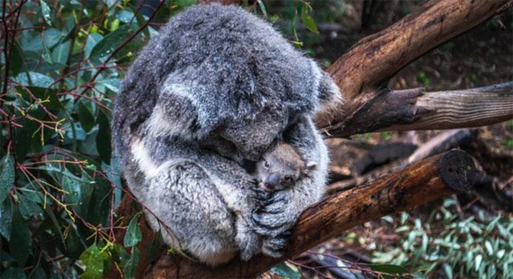 Gấu trúc koala chỉ còn một cộng đồng quá nhỏ.