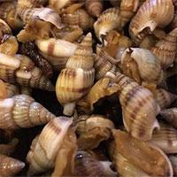 Có một loại ốc độc hơn cả thạch tín, ăn vào có thể sống thực vật cả đời