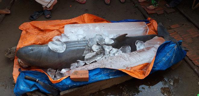 Cá nược tìm thấy ở Cổ Chiên là cá cái, đã già, răng rụng hết.
