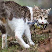 Úc sẽ thả xúc xích tẩm độc để giết hàng triệu con mèo hoang