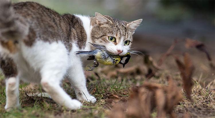 Mèo hoang ăn thịt chim