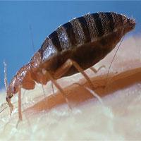 Loài rệp đã đã từng tấn công cả… khủng long bạo chúa?