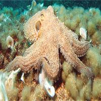 Biến đổi khí hậu khiến bạch tuộc bị mù