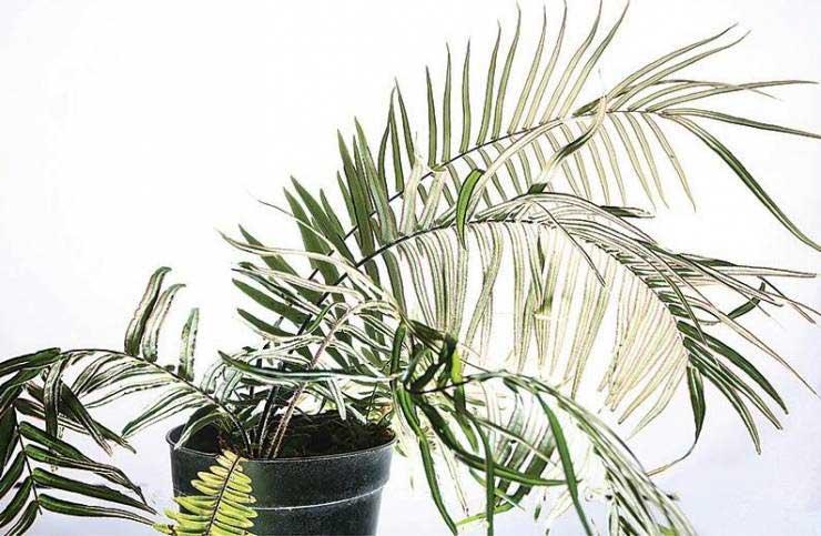 Loài dương xỉ bản địa ở Trung Quốc được cho có khả năng làm sạch được asen.