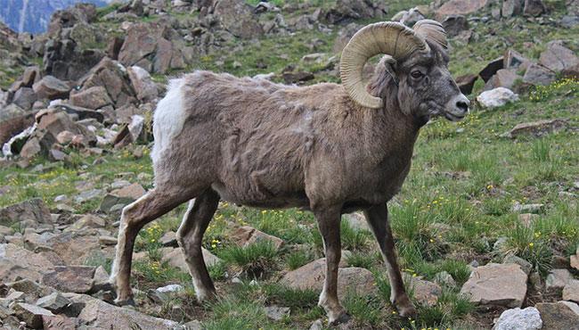 Cừu núi