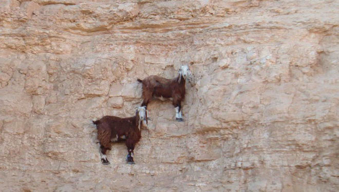 Cứ sau mỗi thế hệ dê, chúng lại leo trèo giỏi hơn