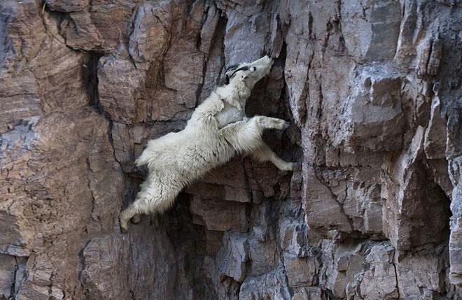 Dê núi là chuyên gia leo trèo không có đối thủ