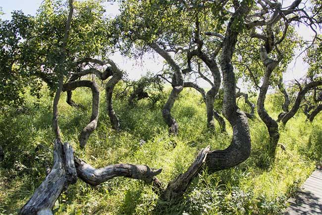 Vườn cây cổ thụ xoắn nghiêng lạ thường tại Canada.