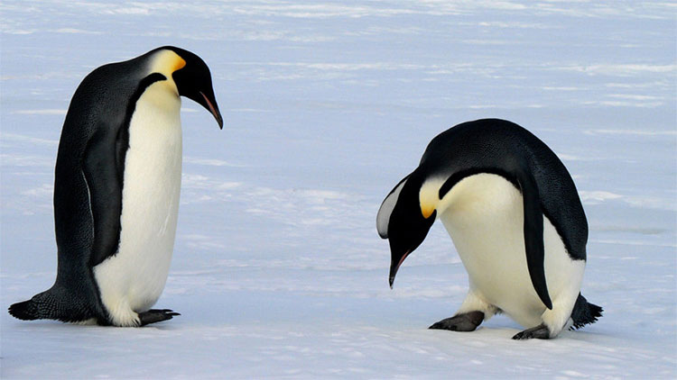 Chim cánh cụt