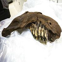 Phát hiện xương hàm voi răng mấu 34.000 năm tuổi ở Mỹ